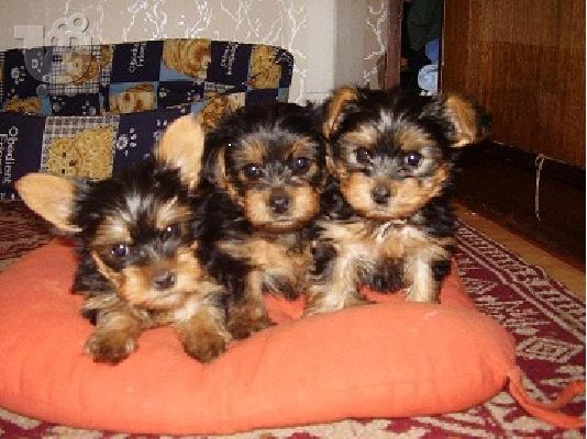 Yorkshire terrier κουτάβια