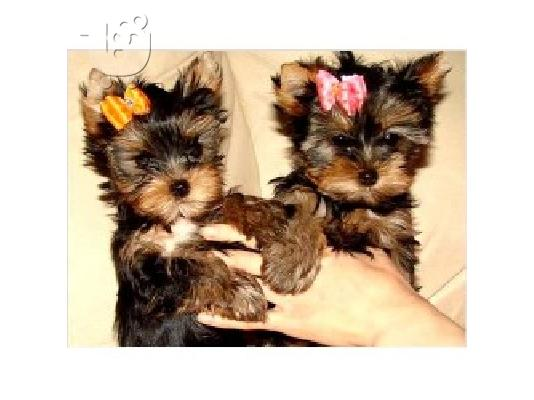 PoulaTo: Yorkshire terrier super pocket, Αττική (€ 120.00 )