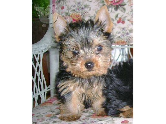PoulaTo: yorkshire terrier Κόκερ Σπάνιελ
