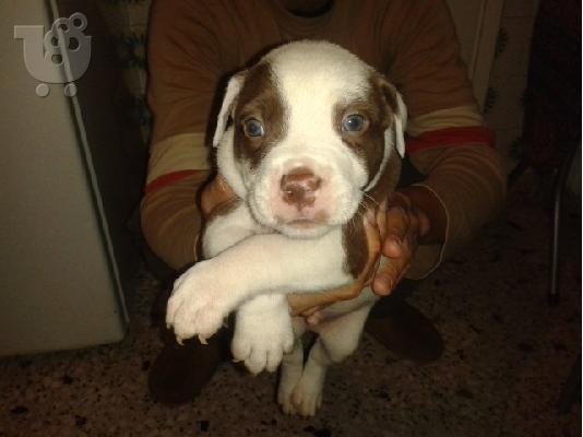 pit bull america staf blue/red nose
