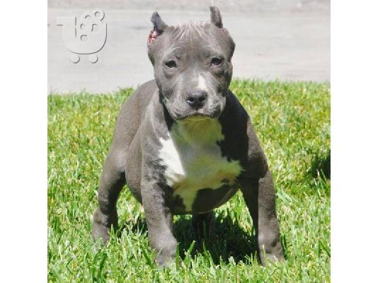PoulaTo: AMERICAN PIT BULL TERRIER ΣΚΥΛΑΚΙ για υιοθεσία