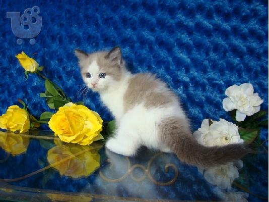 PoulaTo: 5 gorgeous Male/Female Ragdoll kittens AVAILABLE