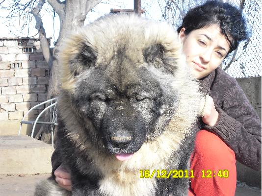 "Kennel ""Dushman"" sale male Caucasian Shepherd"