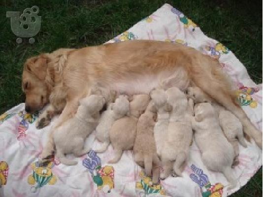PoulaTo: GOLDEN RETRIEVER
