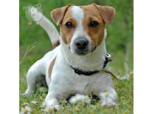 Jack Russell καθαροαιμα 6979314054 ΚΡΗΤΗ-ΑΘΗΝΑ
