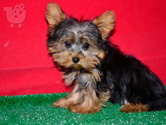 PoulaTo: Pedigree  male and female Yorkshire Terrier  puppies for rehoming