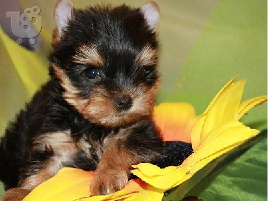 PoulaTo: yorkshire terrier mini pocket.