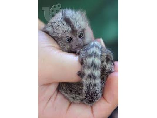 PoulaTo: lovely marmoset for 300€