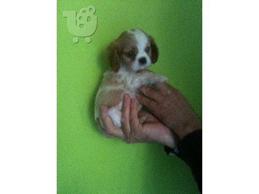 PoulaTo: cavalier king charles