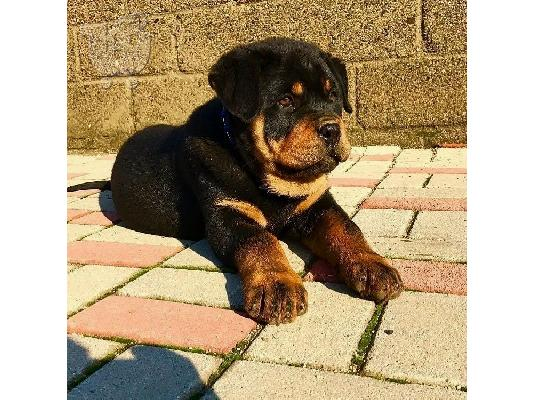 PoulaTo: Adorable Rottweiler Puppy For Sale