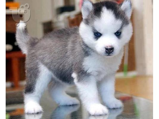 PoulaTo: Efficient Siberian husky puppies