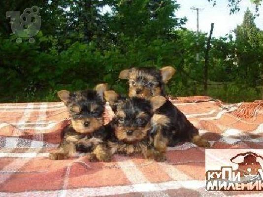 PoulaTo: Yorkshire Terrier καθαροαιμα κουταβια Αθηνα-Κρητη-Νησια 6979314054