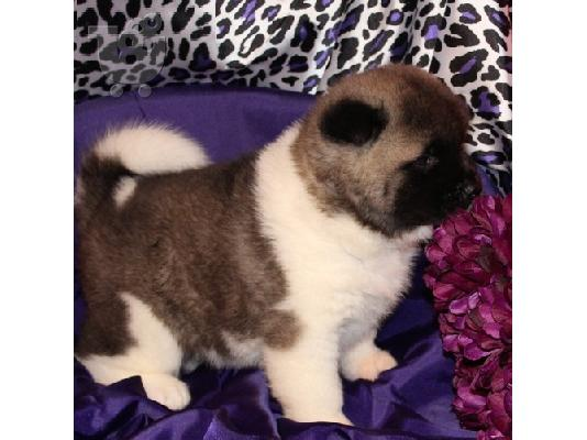 PoulaTo: male and Female Akita  puppies for adoption