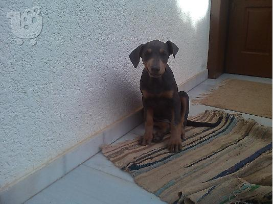 "Doberman ""Blue"""