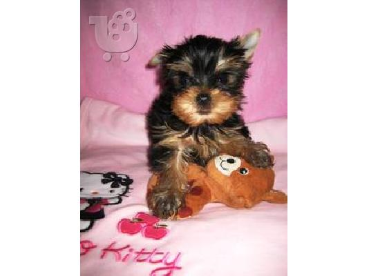 PoulaTo: Yorkshire terrier super pocket, Αθήνα (€ 120.00 )