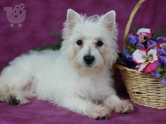 PoulaTo: West Highland Terrier Puppy προς πώληση