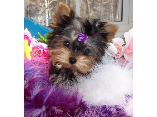 PoulaTo: yorkshire terrier κουτάβια για δωρεά