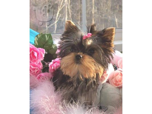 Yorkshire terrier super pocket, Αθήνα (€ 120.00 )
