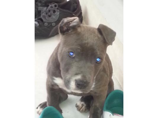 PoulaTo: BLUE NOSE PITBULL