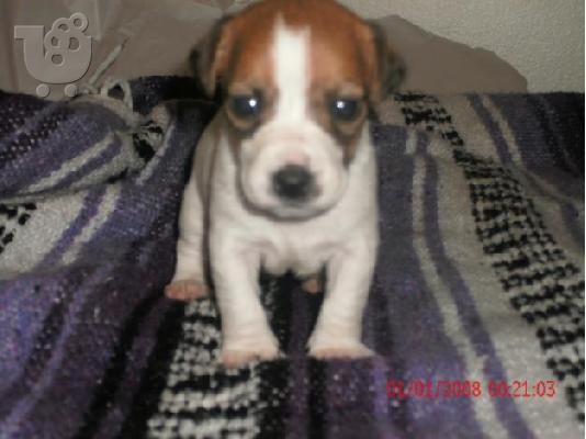PoulaTo: jack russell