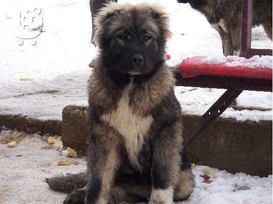"Kennel ""Duchman"" sale male Caucasian Shepherd"