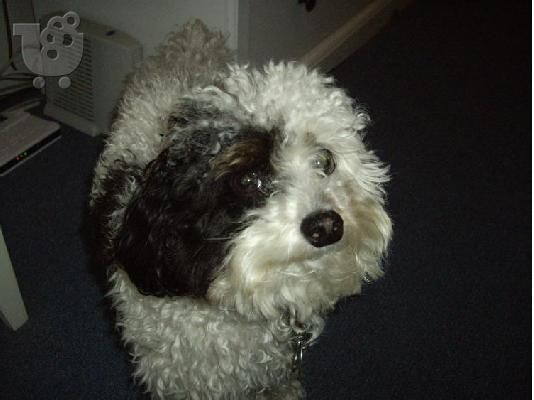 PoulaTo: Buddy is a sweet, loving Maltipoo (Maltese/Miniature Poodle mix),