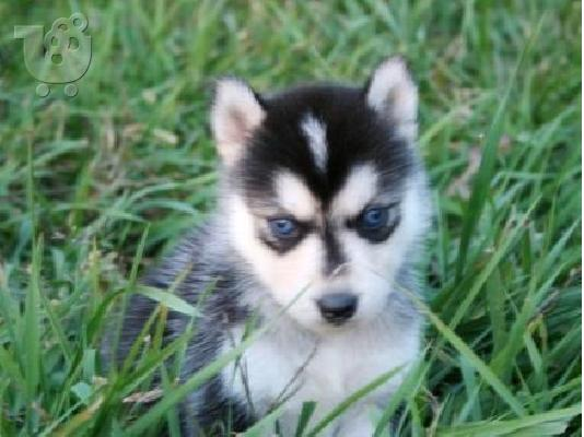 PoulaTo: Pedigree  male and female siberian husky puppies for rehoming