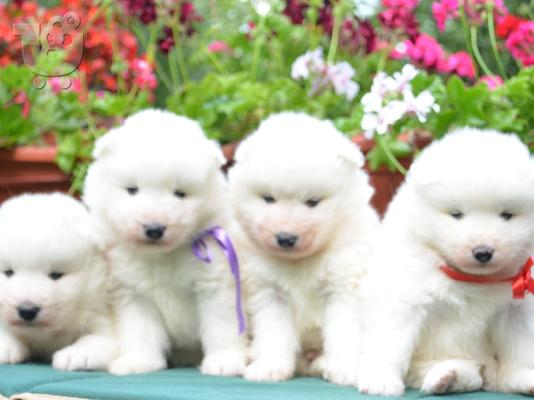 PoulaTo: Samoyed puppies: Show-quality puppies from Champion parents.