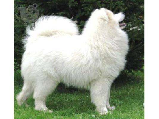 Samoyed puppies: Show-quality puppies from Champion parents.